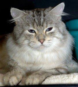 american-bobtail-cat-facts-2