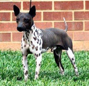 american-hairless-terrier