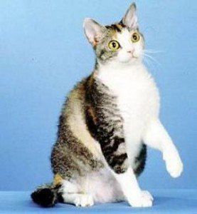 american-wirehair-cat-facts-2