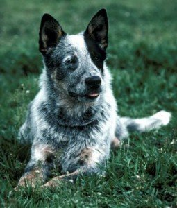 avustralya_cattle_dog