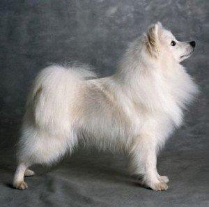 eskimo_dog