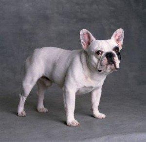 french_bulldog