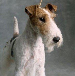 wire_fox_terrier